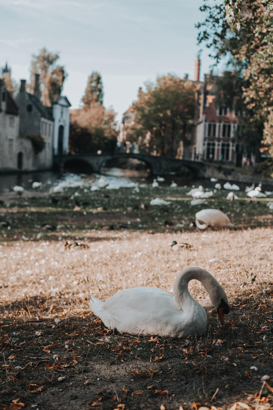 Minnewater & Begijnhof with swans in Bruges Belgium
