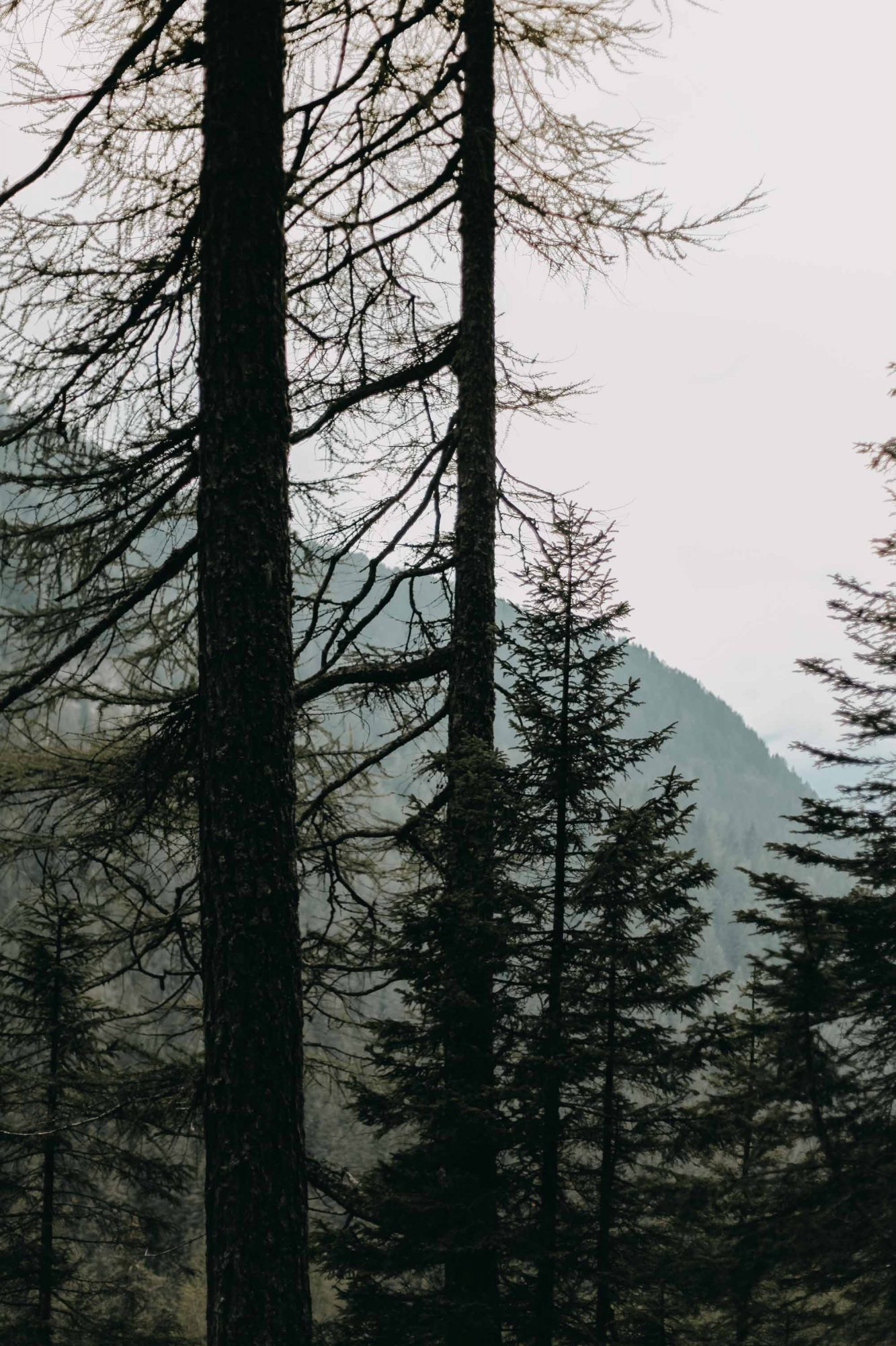 some trees in the alps